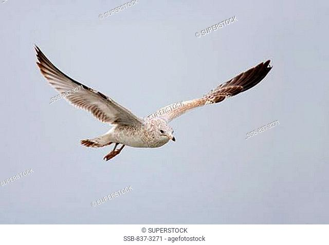 Low angle view of a Juvenile Ring-Billed gull Larus delawarensis flying in the sky