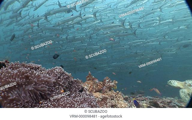 Static of barracuda school --turtle swim through shot. Sipadan, Borneo, Malaysia