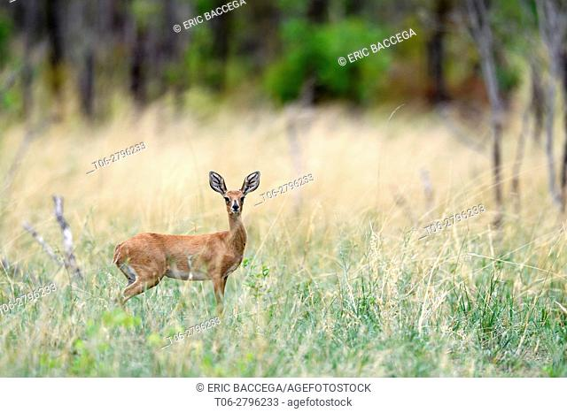 Steenbok female (Raphicerus campestris) in tall grass. Hwange National Park, Zimbabwe