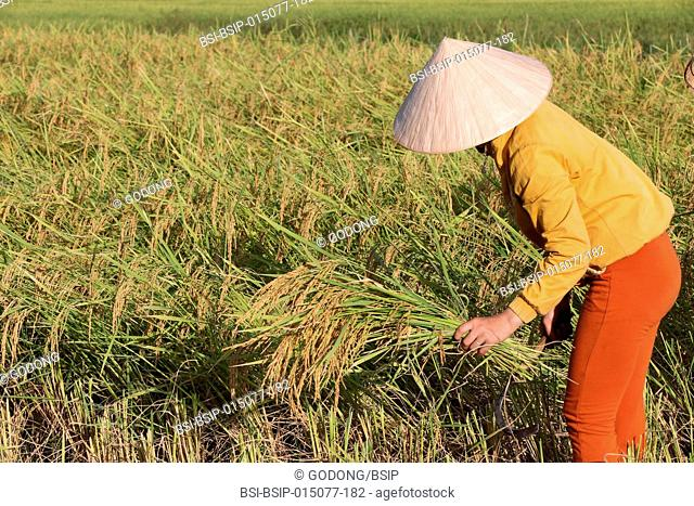 Agriculture. Rice field. Lao farmer harvesting rice
