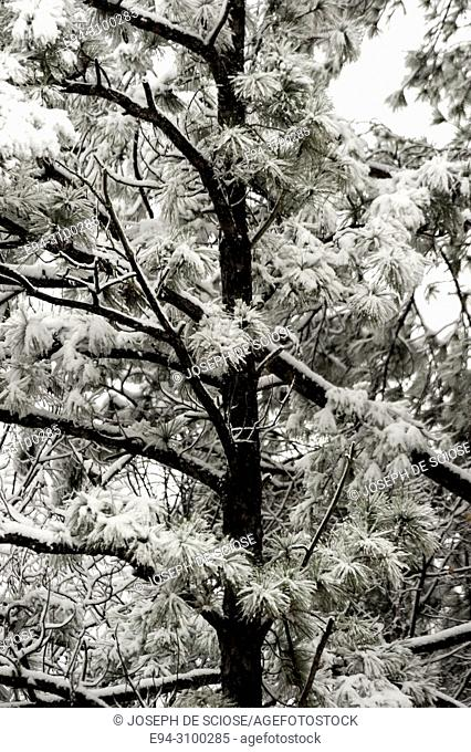 A dusting of snow on the branches of a pine tree during a snow storm.Birmingham, Alabama, USA
