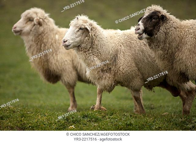 Sheep bleat in a meadow in Villaluenga del Rosario, in the Sierra de Grazalema National Park, Cadiz province, Andalusia, Spain