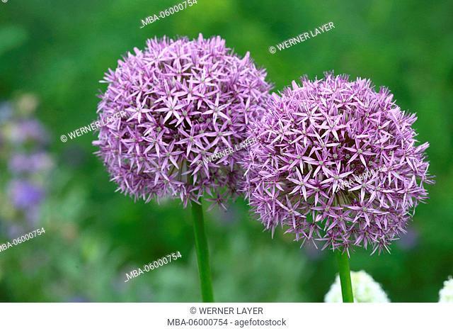 Leek, blossoms, Allium ampeloprasum
