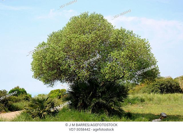Wild olive (Olea europaea sylvestris or Olea europaea oleaster) is a shrub or small tree native to Mediterranean Basin. This photo was taken in Garraf Natural...