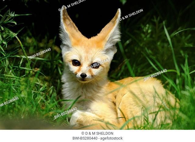 fennec fox Fennecus zerda, Vulpes zerda, lying in grass