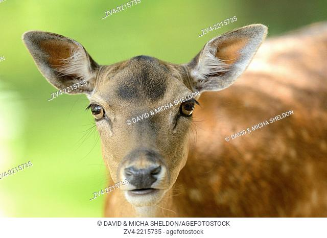 Portrait of a fallow deer (Dama dama) in a forest in spring