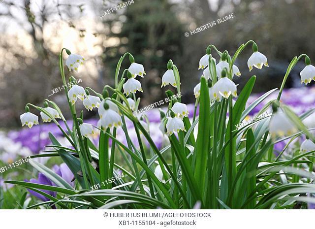 Spring Snowflake, Leucojum vernum and Summer Snowflake or Loddon Lily Leucojum aestivum are bulbous plants belonging to the Amaryllidaceae family