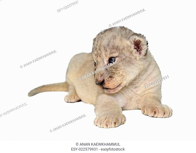 baby lion isolated