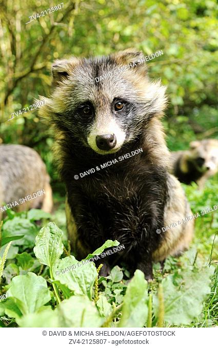 Raccoon dog (Nyctereutes procyonoides) sitting on the ground in a forest, Germany, Europe