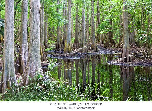 Swamp in Highlands Hammock State Park near Sebring Florida