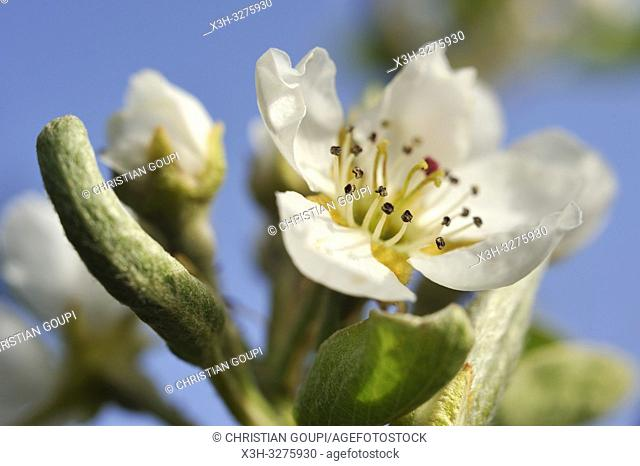 Pear tree in flower (Pyrus communis), Eure-et-Loir department, Centre-Val de Loire region, France, Europe