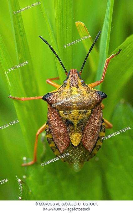 Chinche de escudo  Red shield bug  Carpocoris mediterraneus  Pontevedra, España