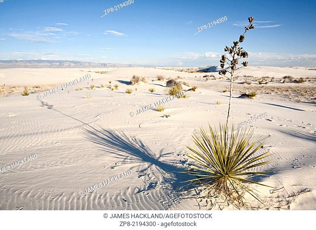 Yucca elata plant in White Sands National Monument near Alamogordo, New Mexico, USA
