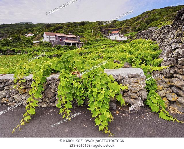 Vineyard on Pico Island, Azores, Portugal