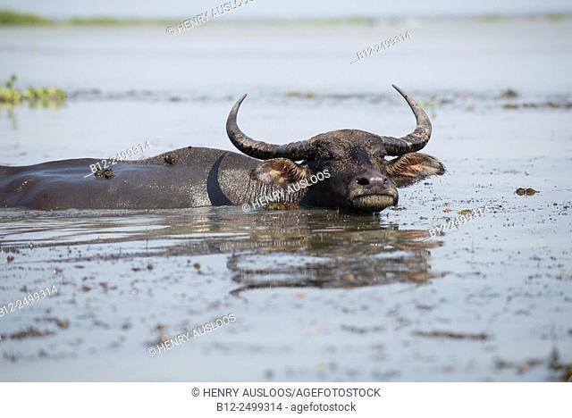 Water Buffalo (Bubalus bubalis) - Tale Noi - Thailand