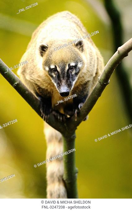 South American Coati Nasua nasua sitting on a branch, zoological garden of Augsburg, Germany
