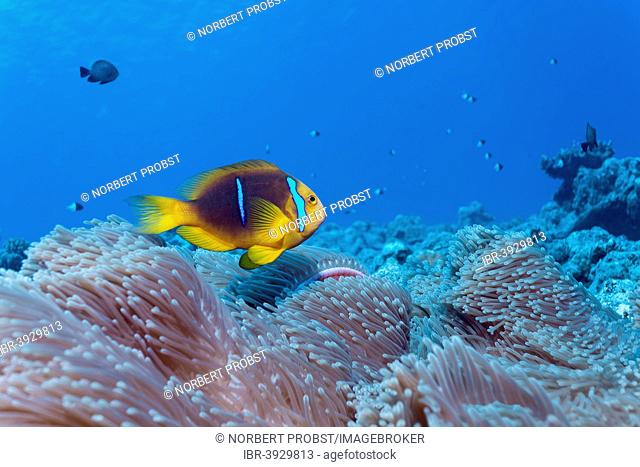 Clark's Anemonefish (Amphiprion clarkii) in a Magnificent Sea Anemone (Heteractis magnifica), Bora Bora, Leeward Islands, Society Islands, French Polynesia