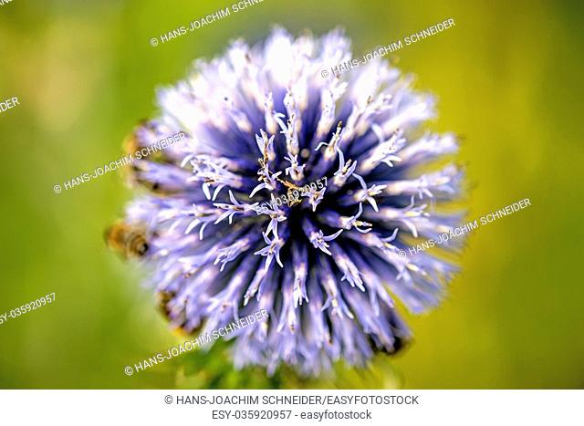 globe thistle with bees in Germany