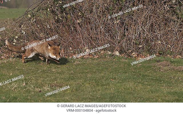 Red Fox, vulpes vulpes, Adult running on Grass, Slow motion