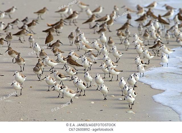 Sanderlings Calidris alba and Dunlin Caldris alpina resting March Fort Myers beach Gulf coast Florida USA