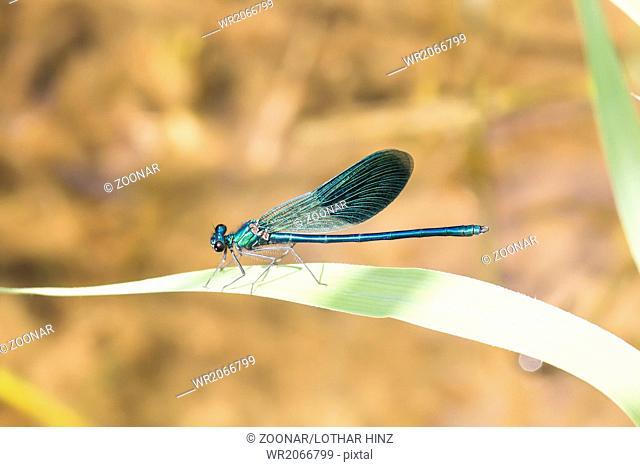 Calopteryx splendens, Banded Demoiselle, male