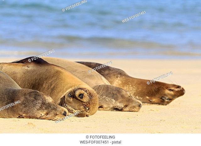 Ecuador, Galapagos Islands, Santa Fe, four sea lions sleeping on beach at seafront