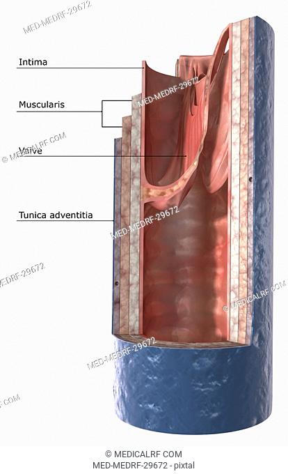 The structure of the vein wall