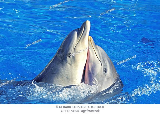 Bottlenose Dolphin, tursiops truncatus, Funny Attitude