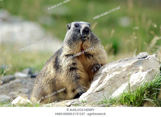France, Alpine Marmot (Marmota marmota)