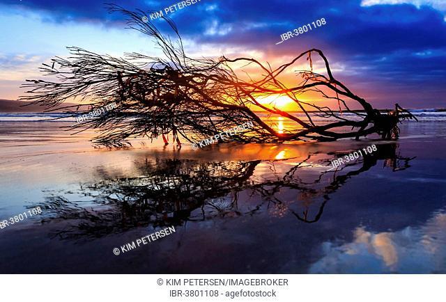 Tree branches lying on the beach at sunrise, South Australia, Australia