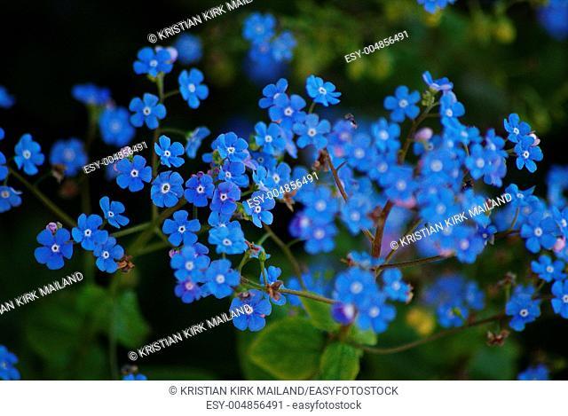 Myosotis sylvatica - beautiful blue wildflower