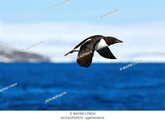 Adult thick-billed murre Uria lomvia leaving its nesting cliff, Svalbard Archipelago, Arctic Norway