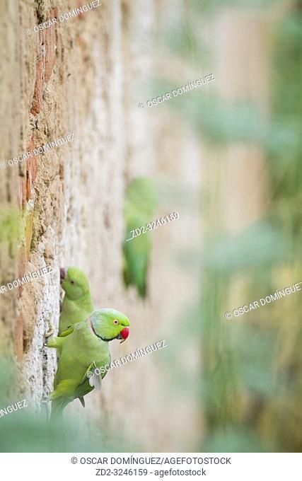 Rose-ringed Parakeet (Psittacula krameri), pair perched on nesting wall. Rajasthan. India
