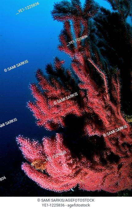 Red gorgonian (Alcyonium palmatum) on a coral reef, Caramasaigne, Riou Island, Marseille, France