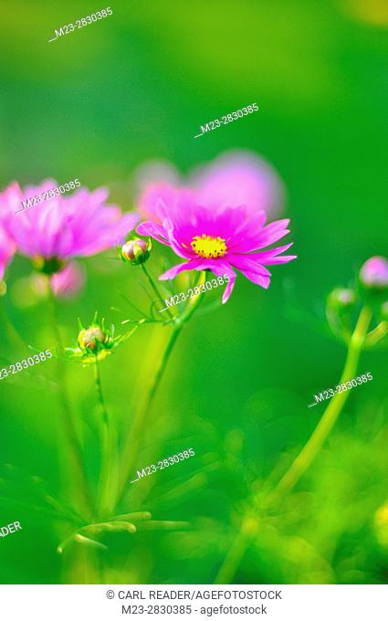 Cosmos flowers depicted in soft focus, Pennsylvania, USA