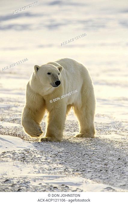 Polar Bear (Ursus maritimus) Curious individual approaching