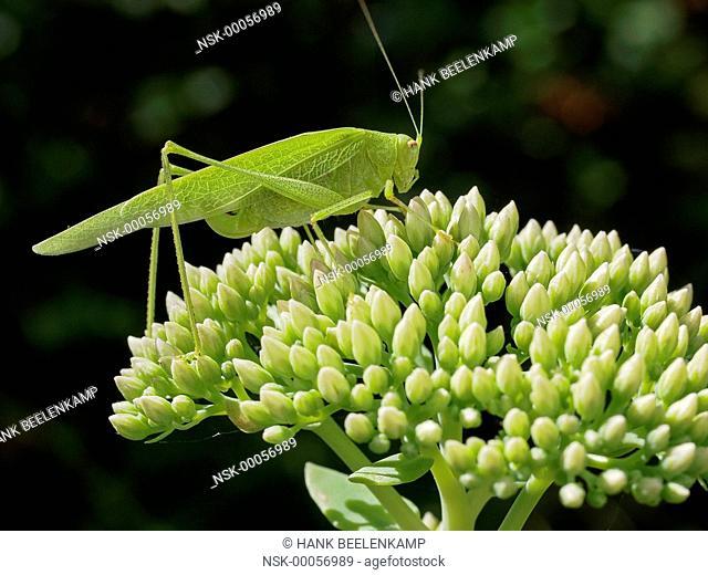 Sickle-bearing bush cricket (Phaneroptera falcata), France