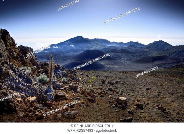 endemic Silversword at Haleakala Volcano Crater, Argyroxiphium sandwicense ssp. Macrocephalum, Maui, Hawaii, USA