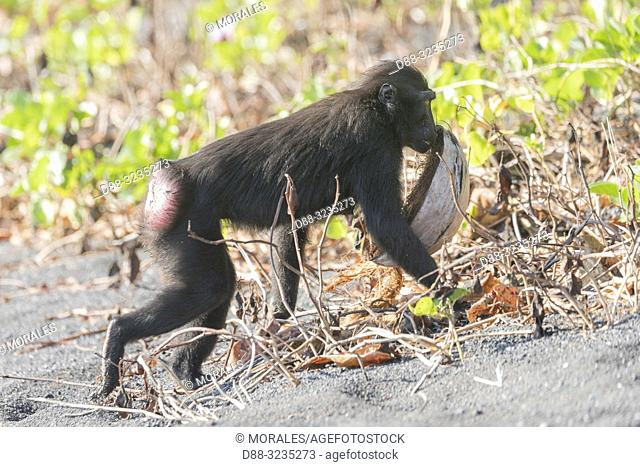 Asia, Indonesia, Celebes, Sulawesi, Tangkoko National Park, . Celebes crested macaque or crested black macaque, Sulawesi crested macaque