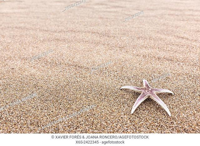 Starfish in the beach, Costa Brava, Girona, Spain