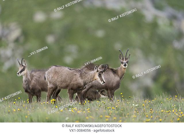 Chamois / Alpine Chamois (Rupicapra rupicapra), females with a suckling young, wildlife, Europe..