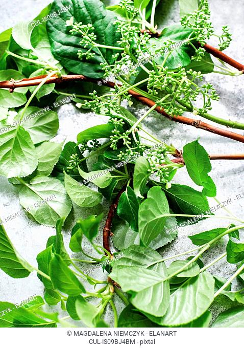 Close up of hydrangea twigs and leaves