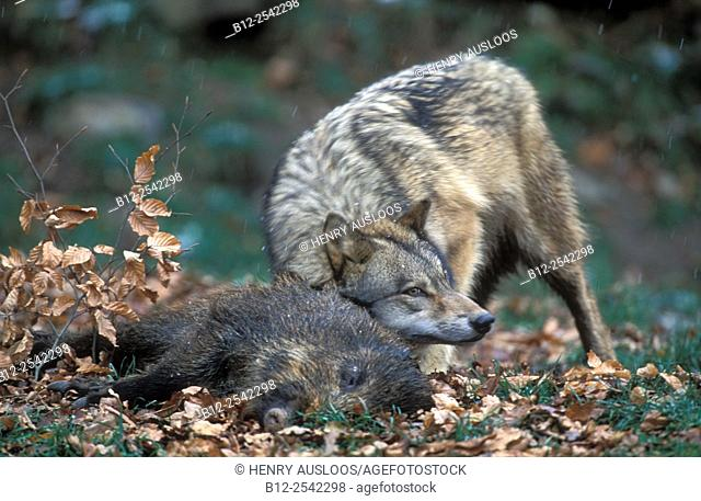 Grey Wolf - Winter - With prey - Marking wild Boar - Canis lupus