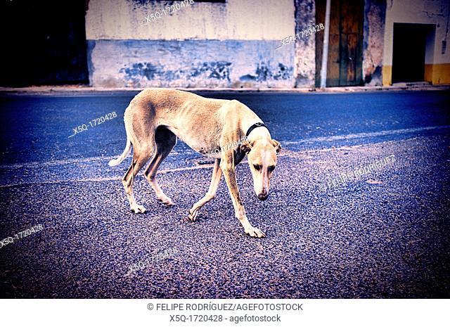 Street greyhound, Cordoba, Cordoba, Spain  Digitally edited to look like an old print