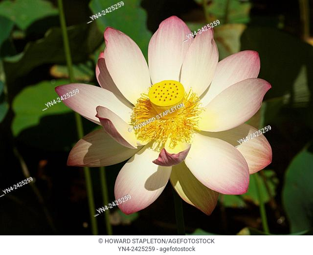Lotus flower, Nelumbo nucifera. In Buddhism the Lotus represents fortune, purification and faithfulness. It is also known as Indian lotus, sacred lotus