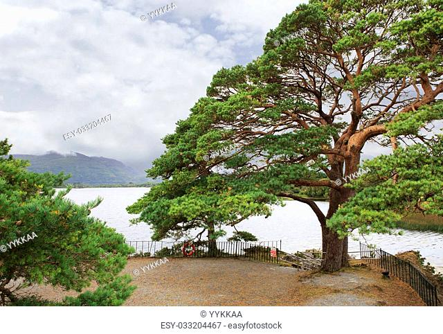 Large pine on Lough Leane Lower Lake. View from Lake Hotel Killarney