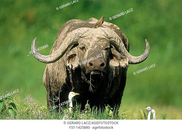 AFRICAN BUFFALO syncerus caffer, ADULT WITH OXPECKER AND CATTLE EGREST, MASAI MARA PARK IN KENYA