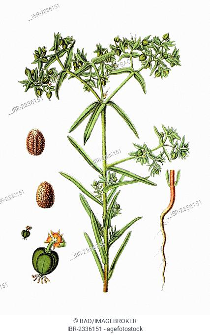 Dwarf spurge (Euphorbia exigua), medicinal plant, historical chromolithography, around 1796