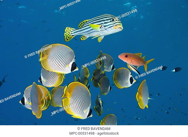Eyepatch Butterflyfish (Chaetodon adiergastos) and Indian Ocean Oriental Sweetlips (Plectorhinchus vittatus) group waiting while Flame Goatfish (Mulloidichthys...