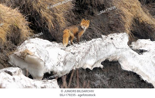 Red Fox (Vulpes vulpes). Adult standing on snow in spring. Kronotsky Zapovednik, Kamchatka, Russia